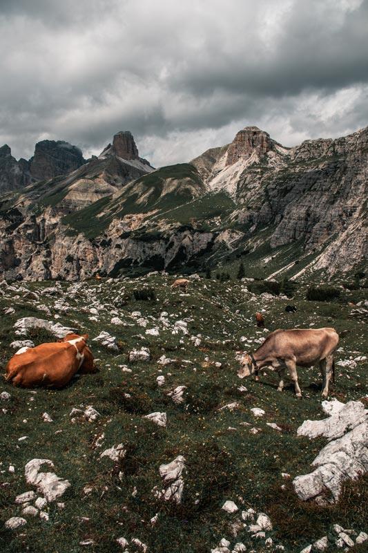 Kühe auf dem Rückweg